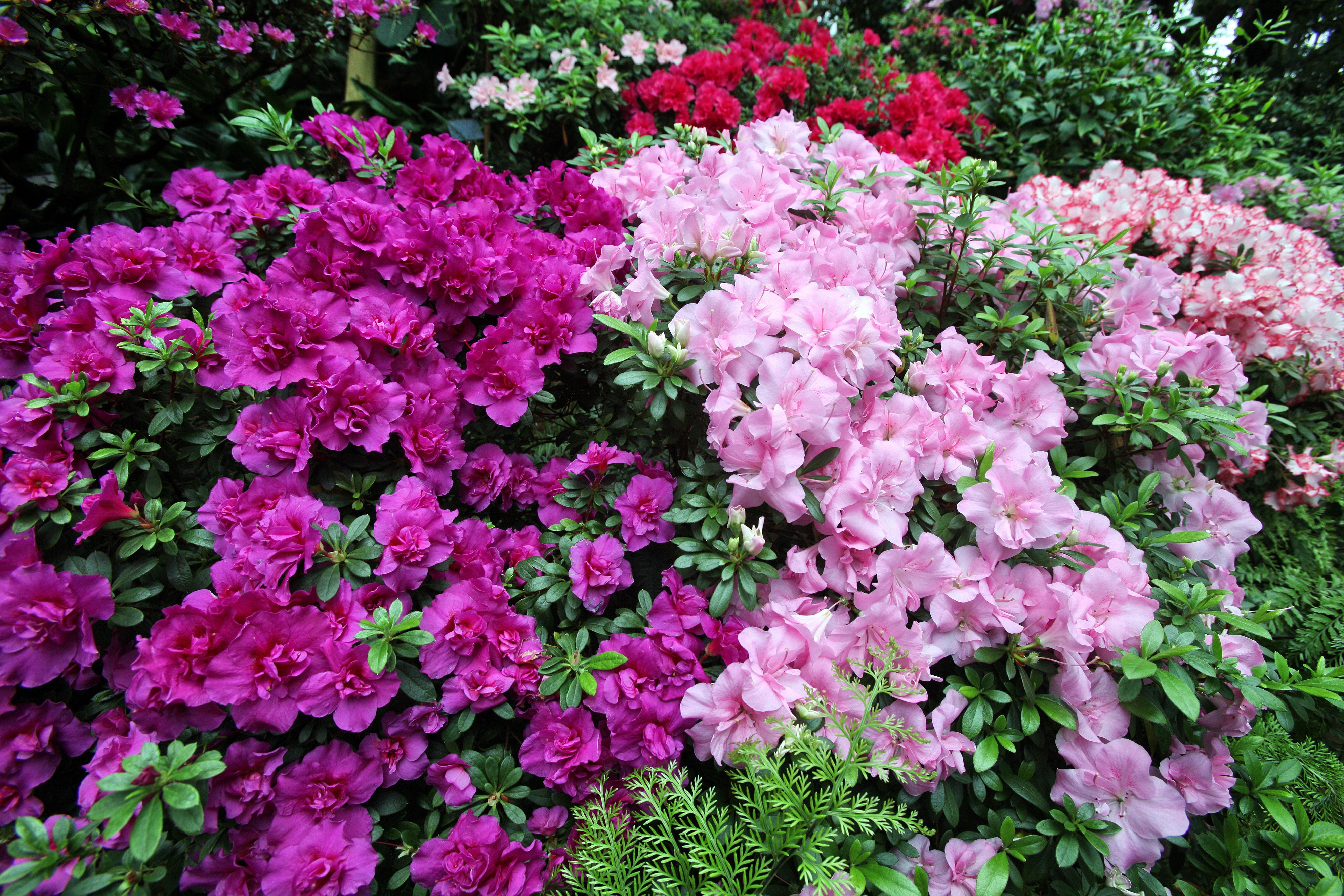 Una explosión de colores. En verano hay ciertos tipos de azaleas que se dan de maravillas en el jardín.